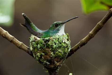 hummingbird nest wallpaper