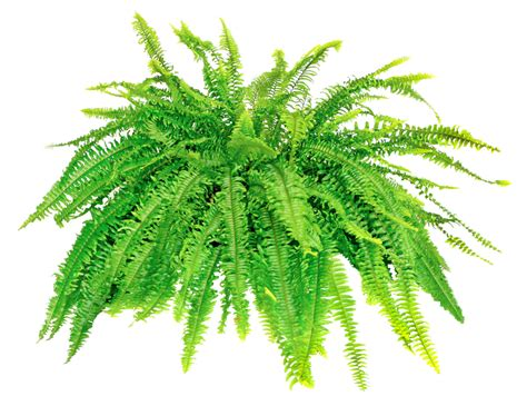 Home Design App Problems by Repotting Boston Fern Plants When And How To Repot A