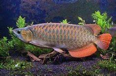 Umpan Untuk Ikan Power Fish beautiful big arowana fish photo picture hd desktop free wallpapers hd branding