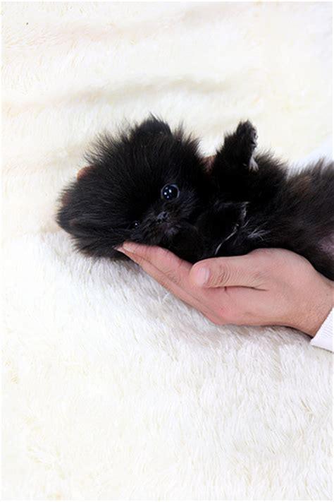 teacup black pomeranian so teacup black pomeranian puppy a photo on flickriver