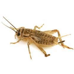 Feeder Live Live Feeder Crickets Acheta Domestica For Sale