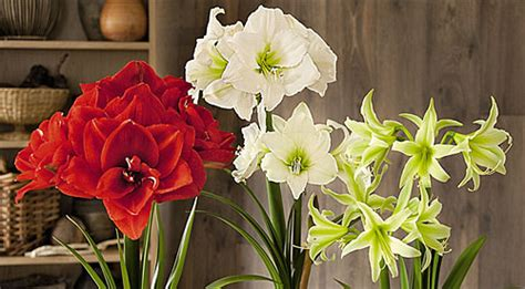 Gardeners Supply Amaryllis Growing Bulbs Indoors Forcing Bulbs Forcing Indoor