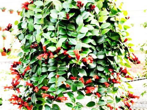 rekomendasi tanaman hias gantung terbaik
