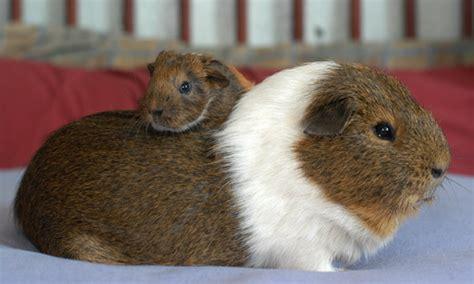 should i neuter my should i neuter my guinea pigs celia haddon