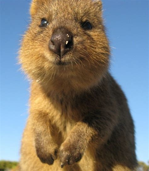 the big with happy animals the most and interesting book about animals we invite you to enjoy this fascinating story of animals who are time at the great animal in the forest books photos to prove that the quokka is indeed the cutest