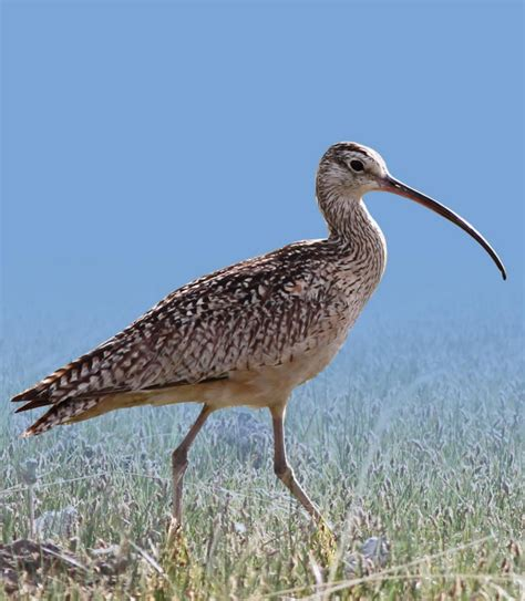 long billed curlew habitat area of critical environmental