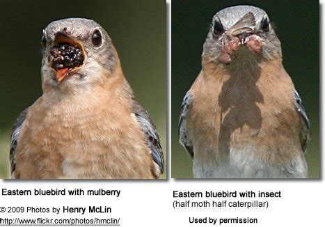 eastern bluebirds sialia sialis also regionally known