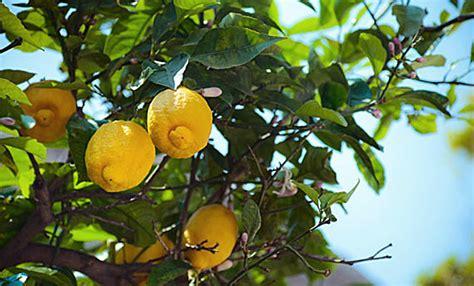 parassiti limone in vaso pianta limone come eliminare la cocciniglia agripi 249