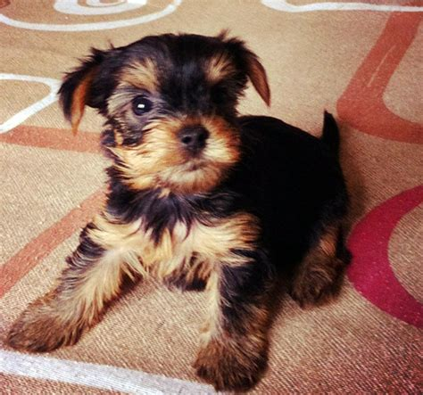 taking care of a yorkie puppy choosing terrier puppy based on understanding your temperament