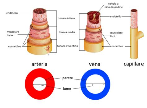 vasi capillari differenza tra arterie vene capillari arteriole e