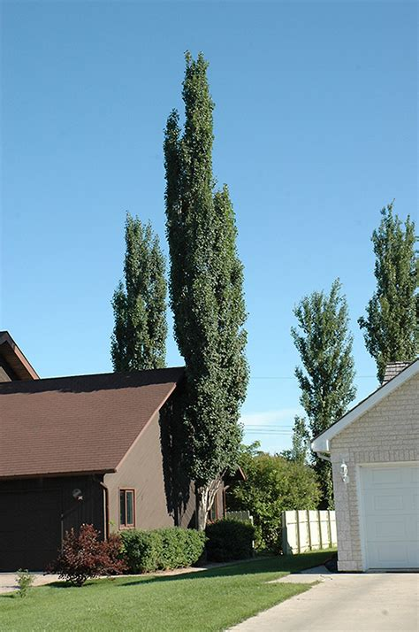 swedish aspen populus tremula erecta  edmonton st