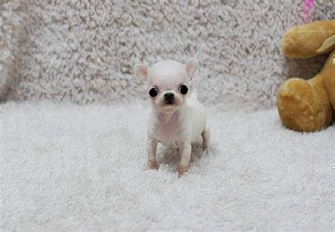 micro teacup chihuahua puppies for sale teacup chihuahua puppies for sale micro teacup chihuahuas breeds picture