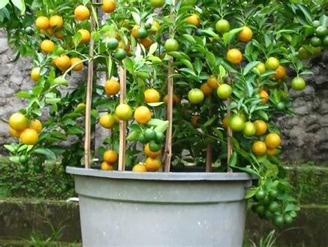 Pohon Jeruk Lemon By Alirashop peluang usaha budidaya jeruk lemon dan analisa usahanya