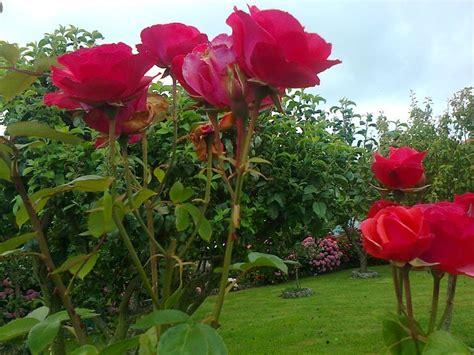 un jardin de rosas rojas imagenes ethel imagenes de rosas claveles crisantemos y