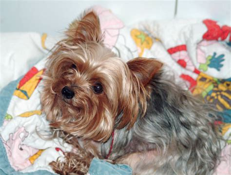 how to your yorkie to do tricks 12 best ways to introduce your terrier to your baby reference