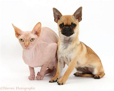 chiwawa pug pets chug pug x chihuahua and sphynx cat photo wp36299