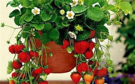 pianta di fragola in vaso fragole in vaso piccoli frutti come coltivare le