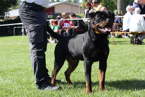 largest rottweiler in the world pics for gt german rottweiler in the world