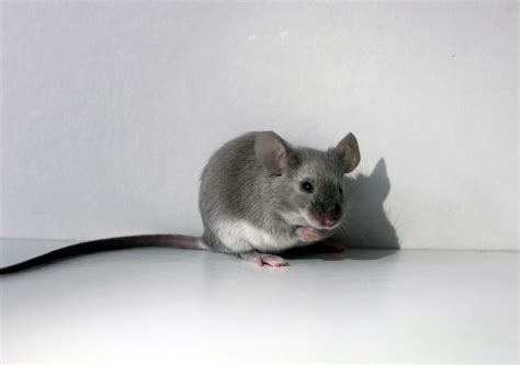 Very Cute Little Silver Grey Female Baby Mouse For