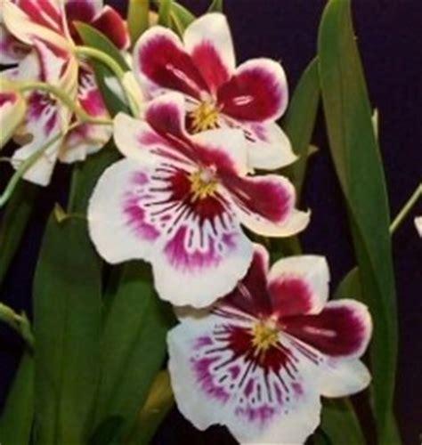 orchidea nera fiore significato orchidea significato dei fiori orchidea