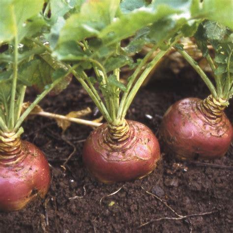 skinned root vegetable seeds radish