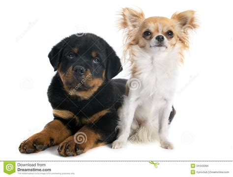 rottweiler chihuahua puppies puppy rottweiler and chihuahua stock images image 34443394