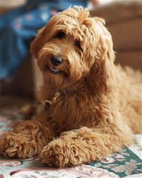 ginger doodle puppy gorgeous ginger labradoodle labradoodle love pinterest