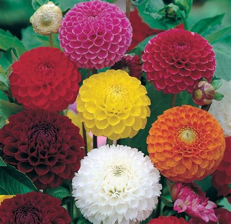 Harga Bibit Bunga Dahlia bibit bunga dahlia pompon bibitbunga