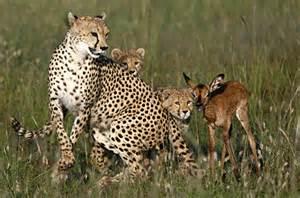 What Do Jaguars Hunt Leopards With Deer Amazing Never U Seen