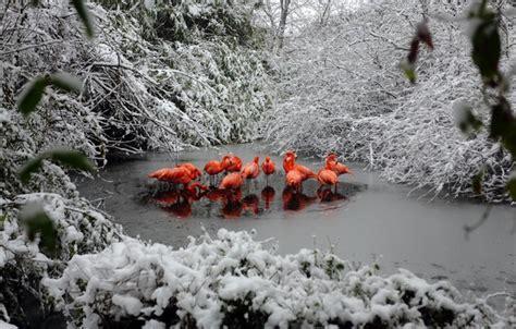 Bfs Big Flamingo обои озеро фламинго снег лес зима картинки на рабочий стол раздел природа скачать