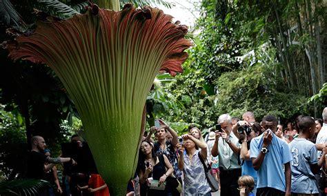 Us Botanic Garden Corpse Flower Big Stinky Corpse Flower Blooms In Washington