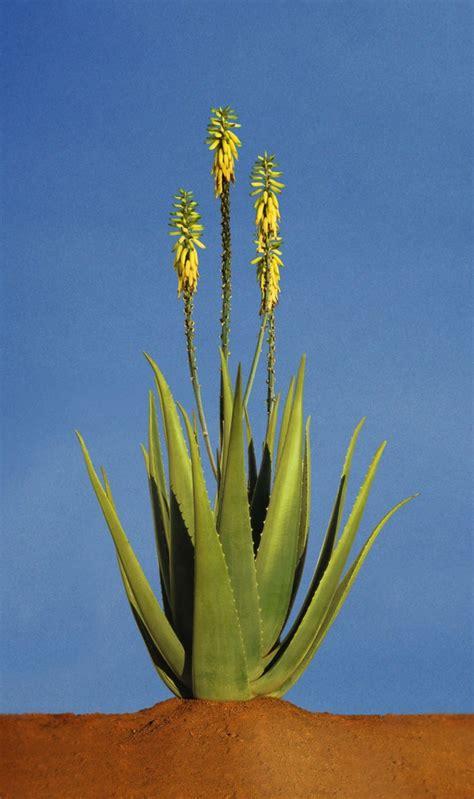 Aloe Vera Pflanze Pflege 4630 by Aloe Vera Pflanze Und Ihre Gesundheitliche Wirkung