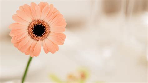 gerbera flower hd wallpaper wallpaper studio  tens