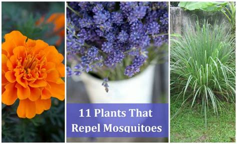 11 plants that naturally repel mosquitoes icreativeideas com