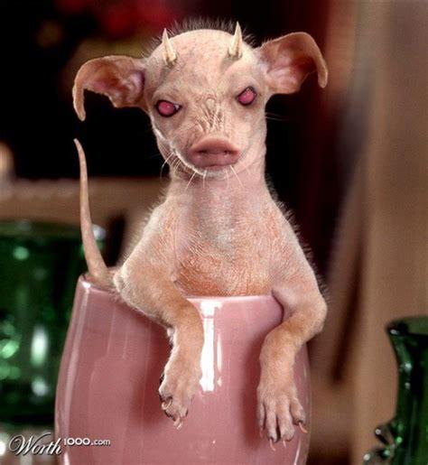 rat dogs pig rat