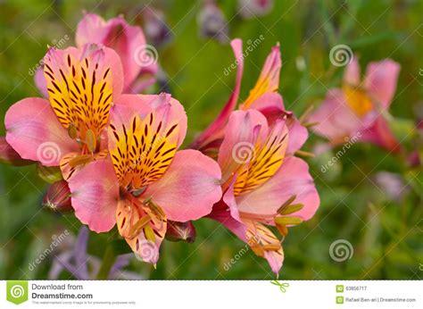 bocca di fiore bocca di fiore di antirrino immagine stock