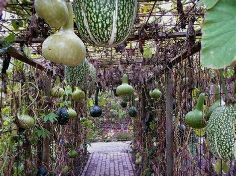 Gourd Trellis gourd trellis gourds