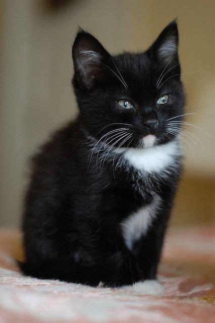 black and white kitten dsc 0473 white kittens tuxedo cats and cat