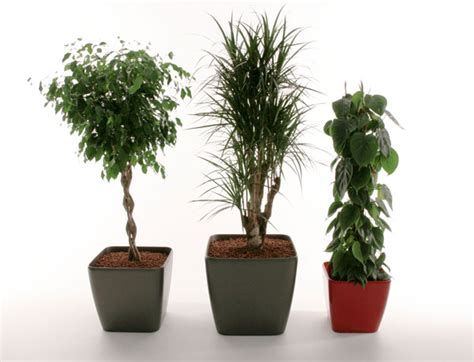 indoor plant display indoor plant displays kentia areca phoenix palms