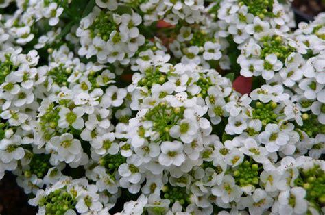 tipi di fiori bianchi tutti i tipi di fiori bianchi gpsreviewspot
