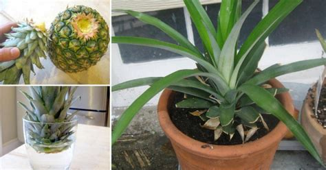 plants at home how to grow your own pineapple at home daily health post