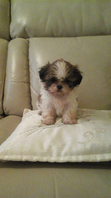 shih tzu puppies for sale swansea puppies for sale swansea swansea pets4homes