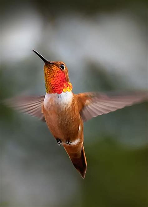 real hummingbird feathers for sale 1587 best hummingbirds images on beautiful birds hummer and birds