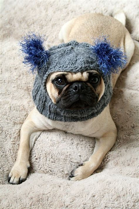pug wear pug wearing clothes