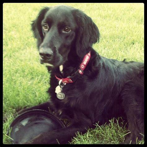 setter dog black irish setter black lab mix and black labs on pinterest