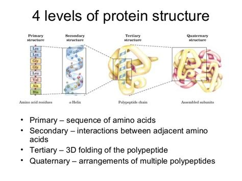 4 protein structure levels 4 levels of protein structure primary sequence of