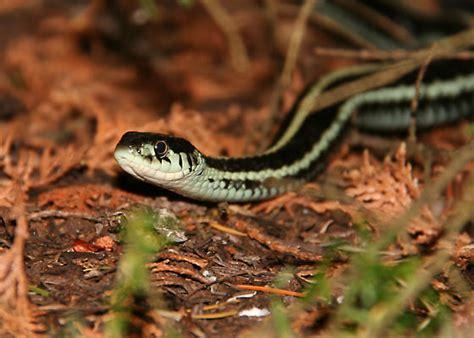 Garter Snake Alabama by Puget Sound Garter Snake Thamnophis Sirtalis Pickeringii