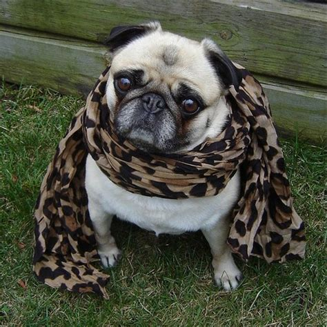 pug club of canada pug photos of pugs images pug in leopard wallpaper and background photos 33608142