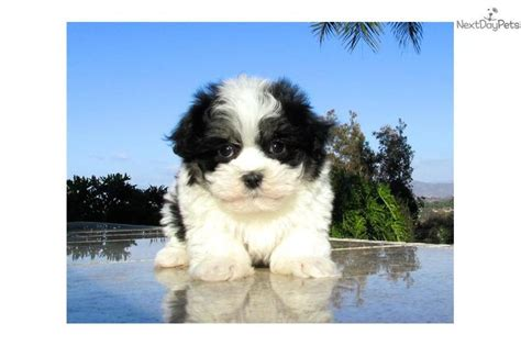 morkie puppies for sale oklahoma the 25 best morkie puppies ideas on small puppies puppies and puppies