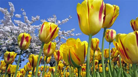 beautiful flowers wallpapers latest news most beautiful flowers wallpapers hd flowers wallpapers